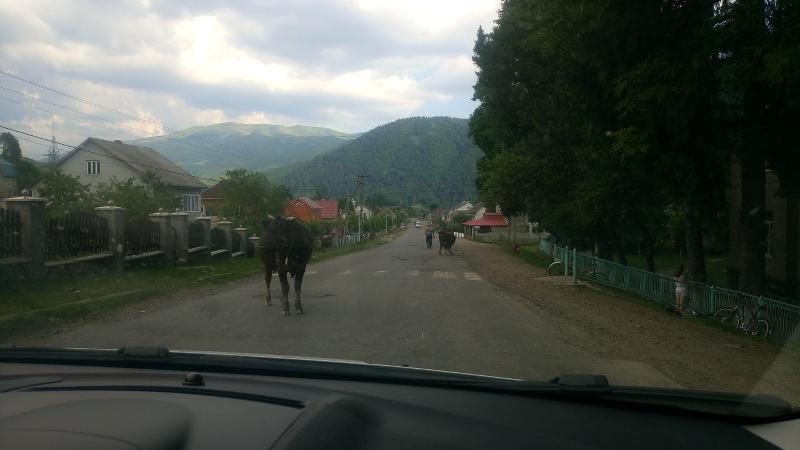 ukraine mit auto karpaten kuh auf strasse