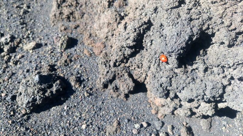 marienkaefer in lava aetna